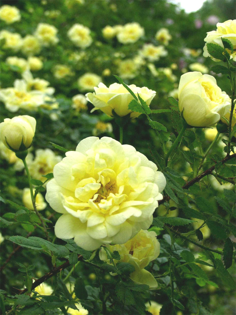 Pensasruusu William's Double Yellow