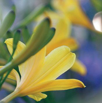 Keltapäivänlilja