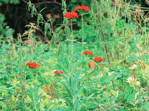 Palavarakkaus - vanhan pihapiirin kasvit