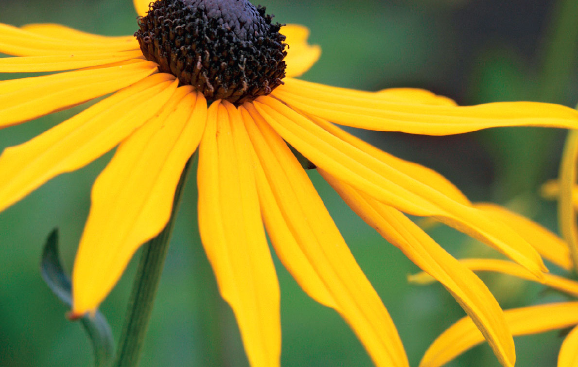 kesäpäivänhattu - keltainen puutarha