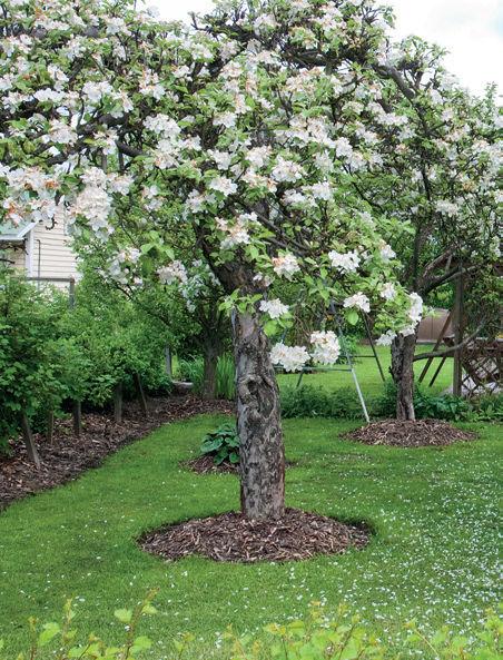 nuori omenapuu