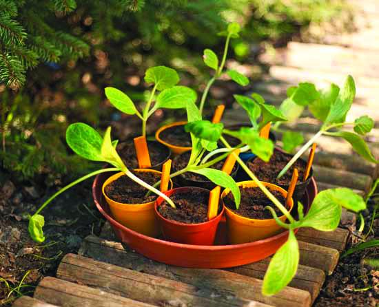 Kesäkurpitsan taimet