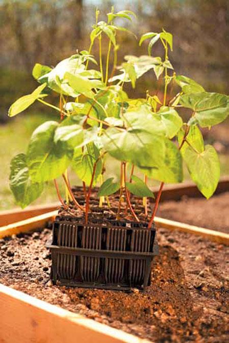 pensaspavun taimet