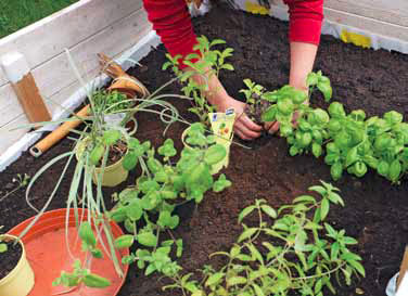 yrttien kasvatus kasvilavalla
