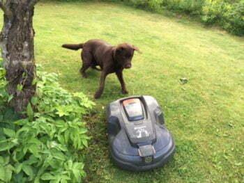 Kuuluuko piha-alue koiralle, vai robottiruohonleikkurille?