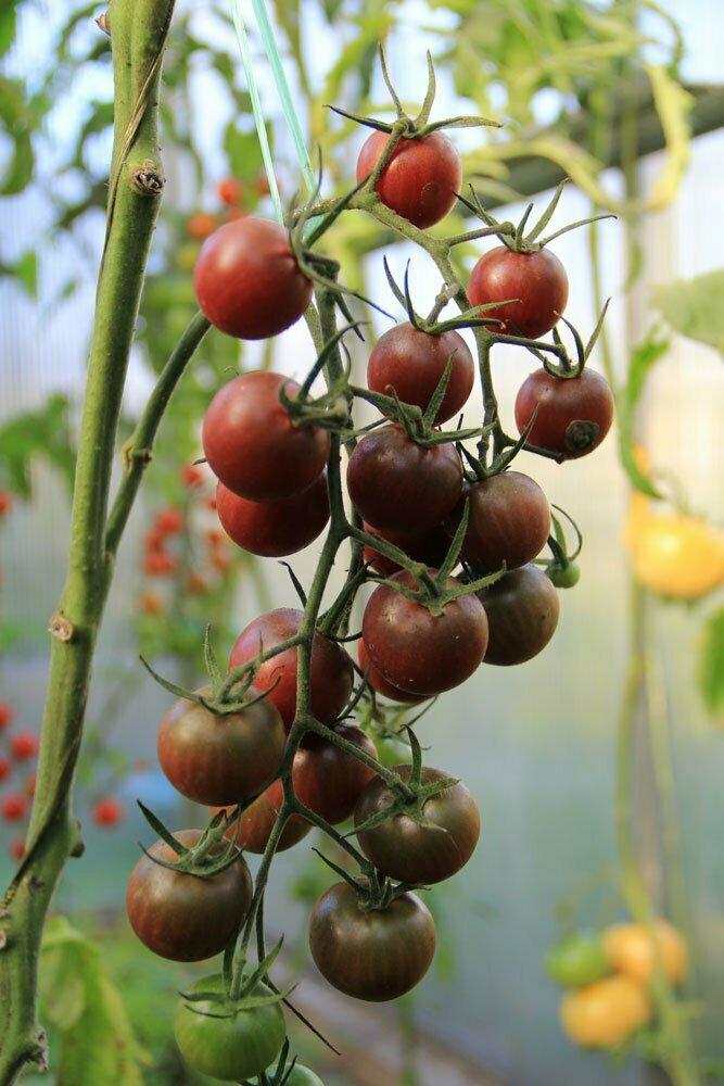 pp_tomaatti_chocolate_cherry