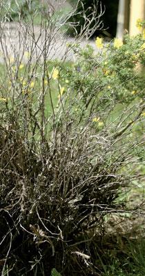 Vilkkaan paikallistien lähellä kasvava pensashanhikkimme on kuivunut lähes kokonaan