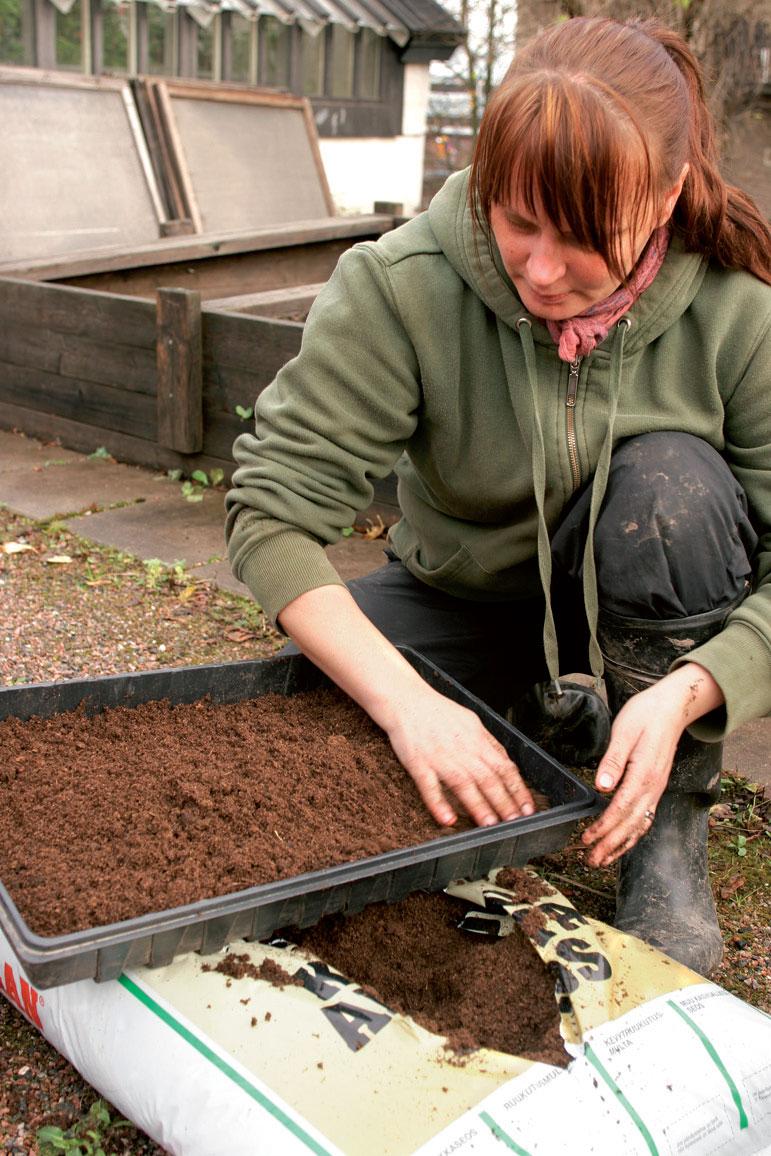 Susu käyttää kylvöalustana hiekan ja turpeen pussiseosta.  Keväällä koulinnan jälkeen taimet saavat ravinteikkaampaa multaa.
