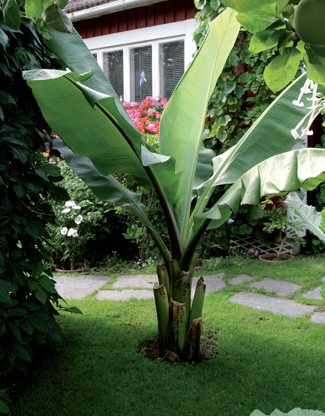 Ruukkuineen maahan upotettu banaani kasvattaa kesän aikana useita suuria lehtiä säännöllisen kastelun ja lannoituksen ansiosta.