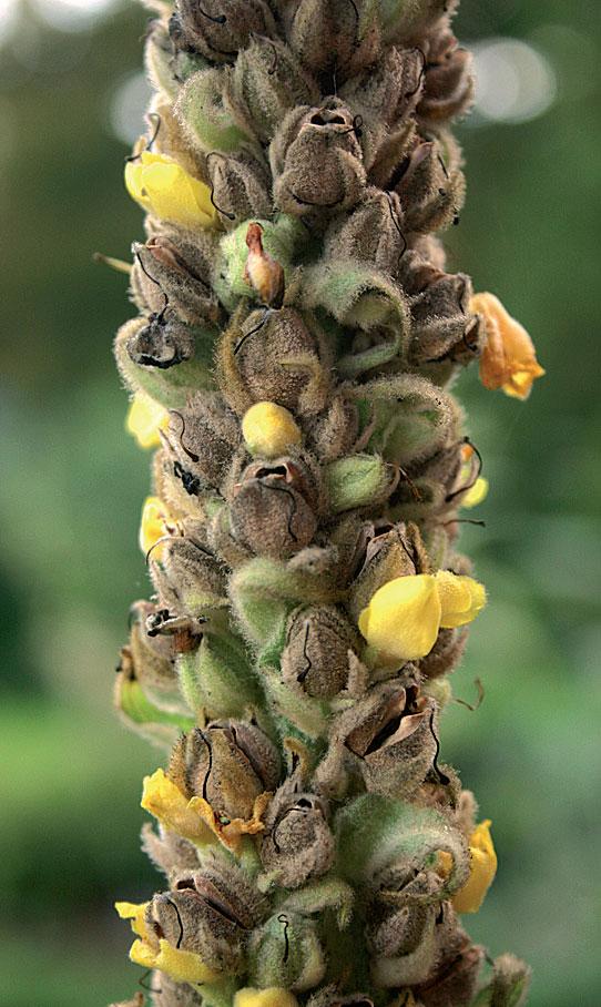 Tulikukka (Verbascum)
