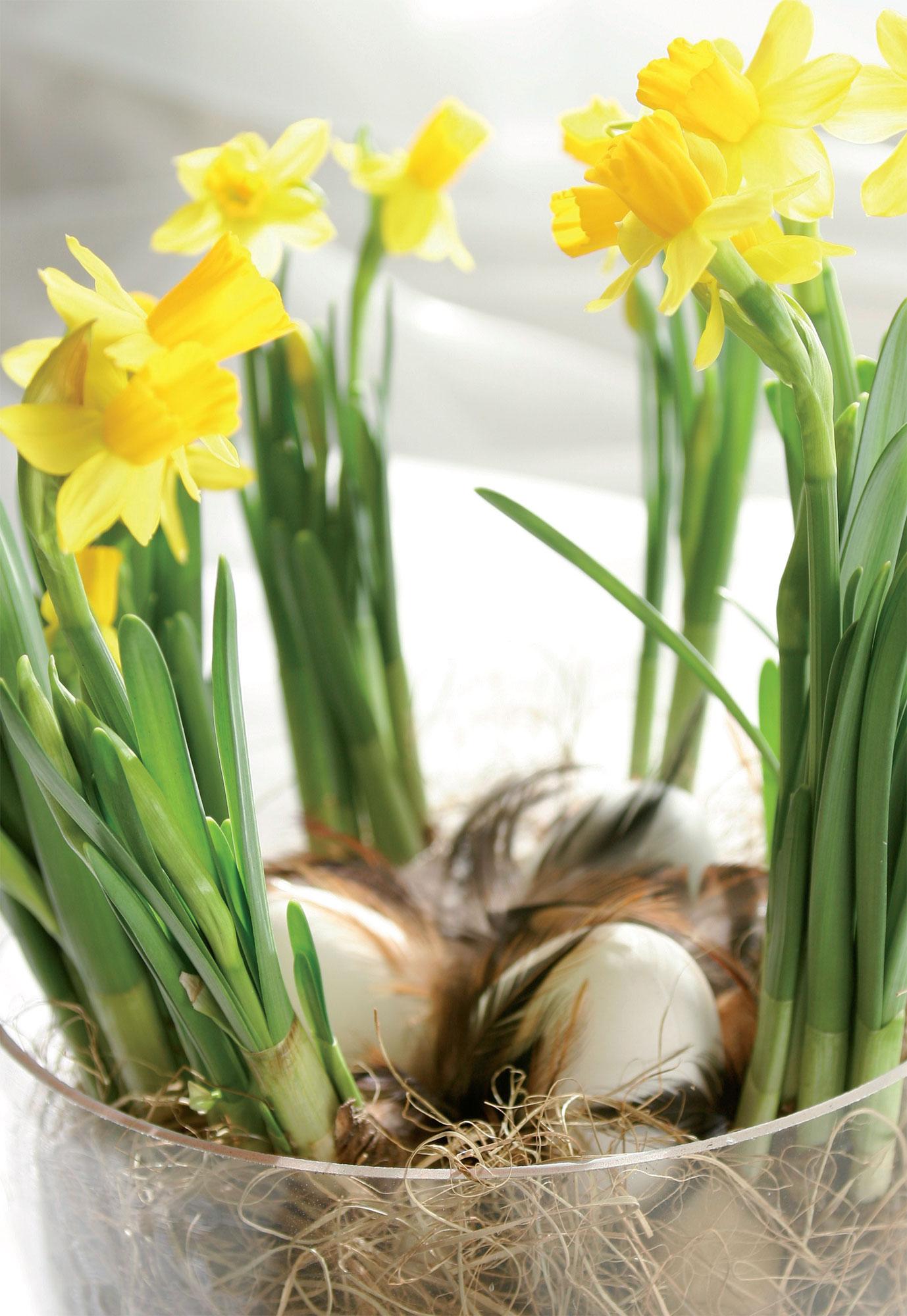 Kananmunat narsissien ympäröiminä