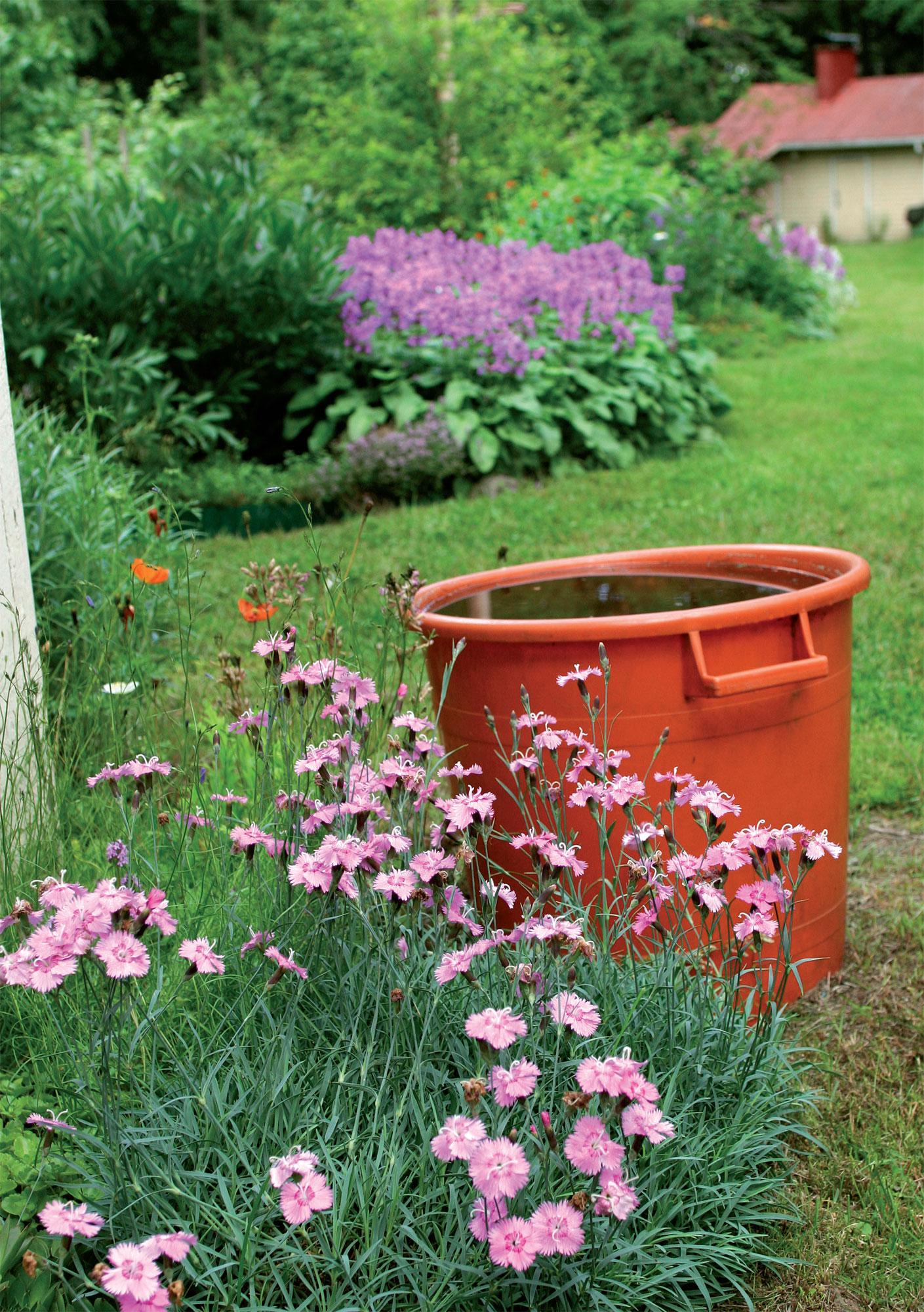 Maatiaiskasvit levittäytyvät vähälläkin hoidolla näyttäviksi pöheiköiksi. Mökin ja pihasaunan välisessä perennapenkissä kukkii violettina mattona jalopähkämö, mökin kulmalla tuoksuu vaaleanpunainen vuorineilikkamätäs.