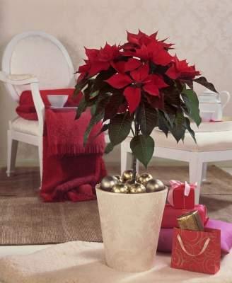 Tummanpunainen joulutähti