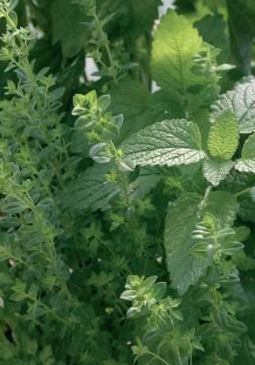 Suvikynteli (Satureja biflora) ja sitruunamelissa (Melissa officinalis) kuuluvat sitruunantuoksuisten yrttien perheeseen.