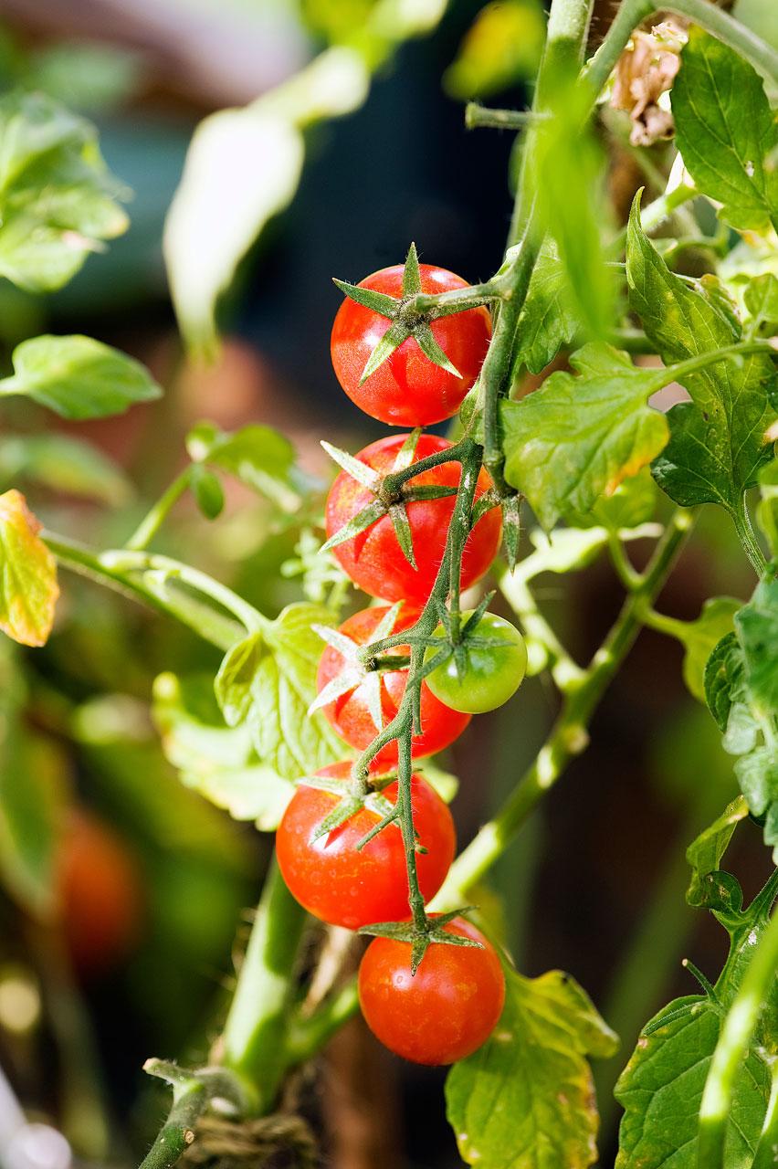 Auringonvalossa kypsyvät tomaatit todella maistuvat tomaateilta.