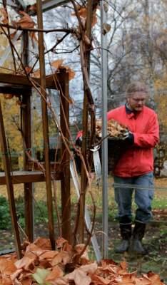 Kasvihuoneessa kuivat lehdet ovat mainio pakkassuoja esimerkiksi viiniköynnökselle.