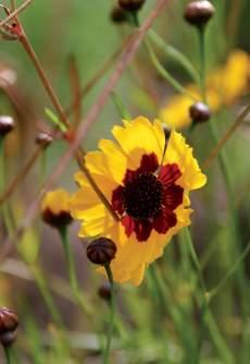 tiikerinkaunosilmä (Coreopsis tinctoria)