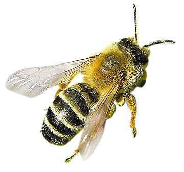 Vinkki: kaada juoksevaa tervaa ampiaispesän suulle, jos ampiaiset kiusaavat puutarhassasi.