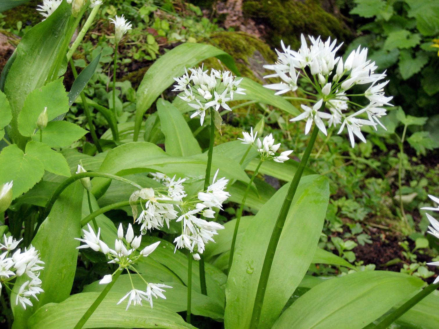 Karhunlaukka (Allium ursinum)
