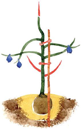 Hillittykasvuisen omenapuun istutusleikkaus