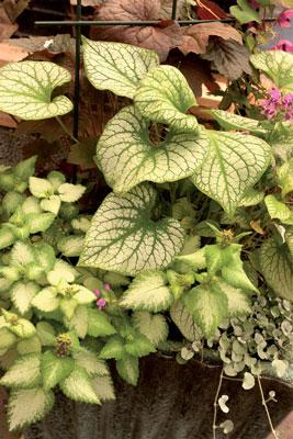 Varjopaikan ruukussa yhdistyvät monivuotiset, kirjavalehtiset kasvit ryhmäkasveihin, jotka voit viedä syksyllä talvehtimaan viileälle kuistille.