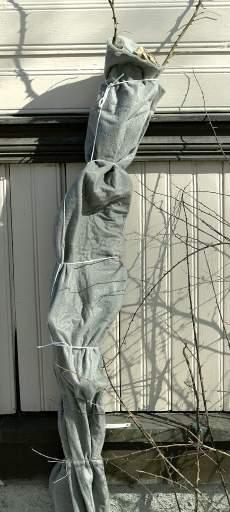 Köynnösruusu on helpompi suojata seinustalla kuin laskea alas. Maanpinnassa uhkaavat myyrät.