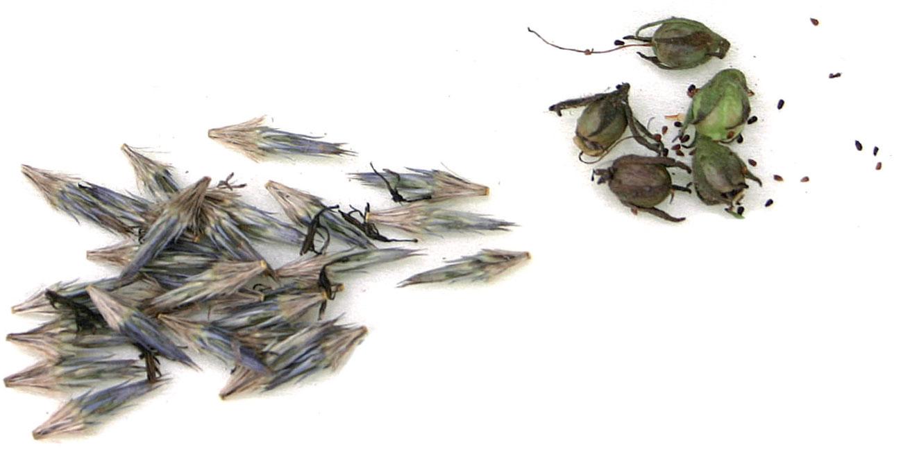 Sinipallo-ohdakkeen ja oikealla tulikukan siemenkotia ja siemeniä.