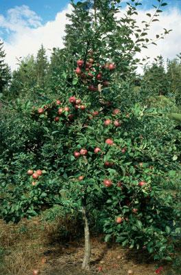 Omenapuusta kannattaa poistaa oksia säännöllisesti