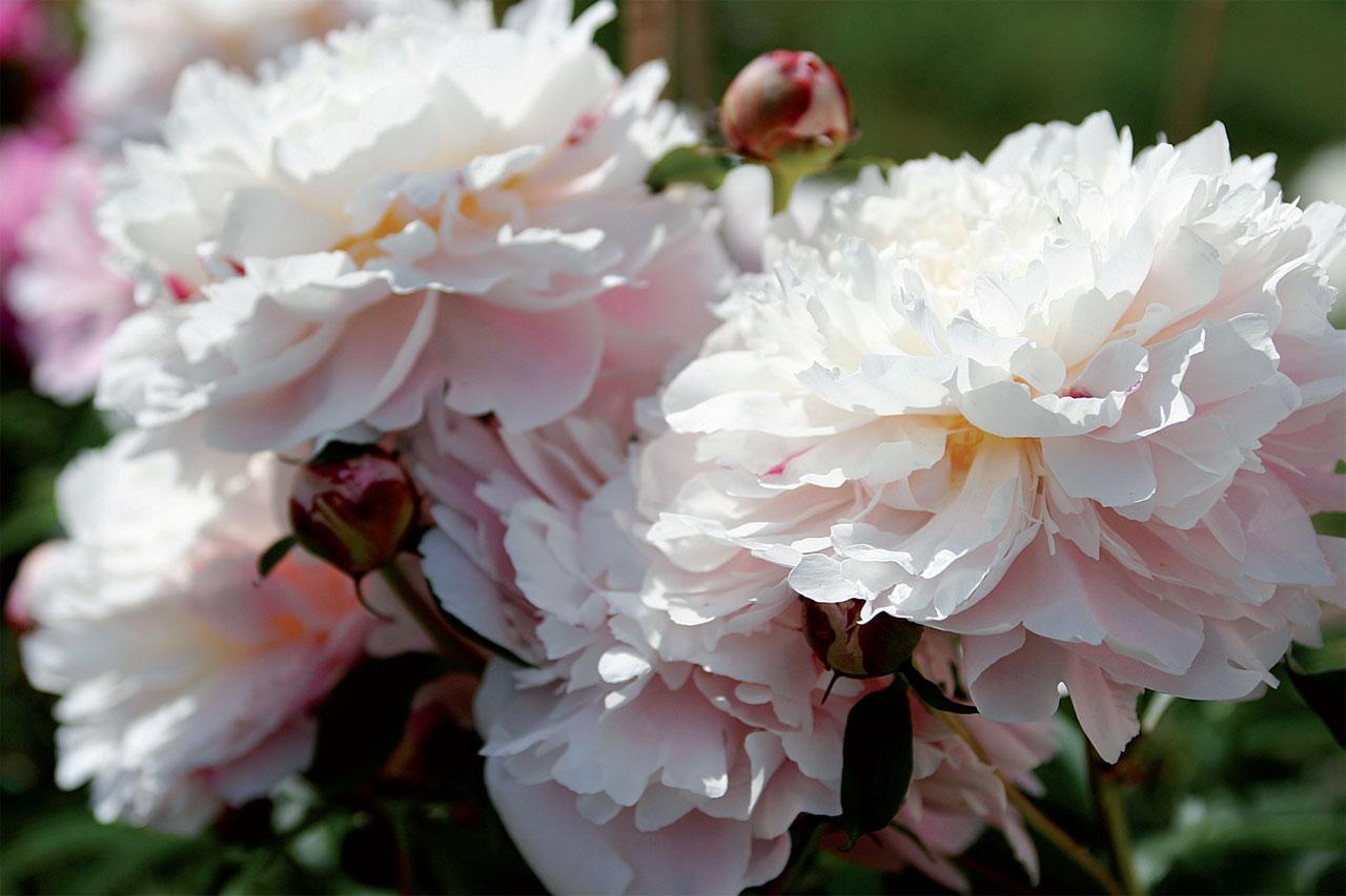 'Reine Hortense' -kiinanpionin kukat avautuvat pallomaisiksi.