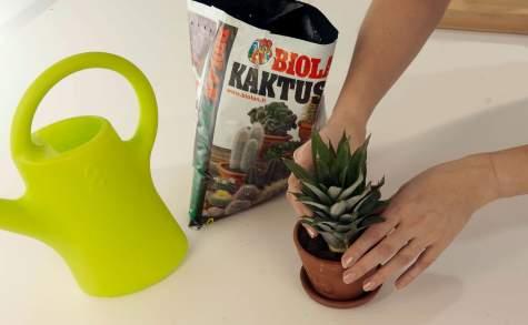 Ananas istutetaan hiekansekaiseen, ilmavaan kaktusmultaan.