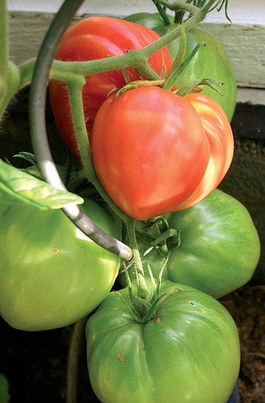 """Irman ihme"" on tomaattimuoto Tampereen seudulta."