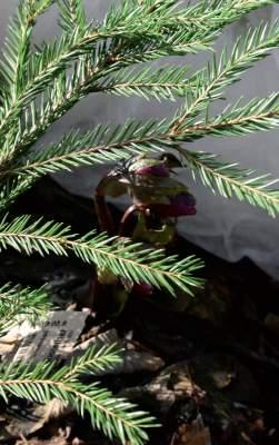 Jouluruusu hyötyy havunoksan tuomaa varjoa. Hallaharso suojaa kevätviimoilta.