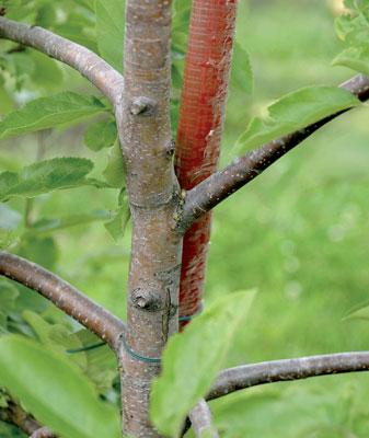Hyvässä omenapuussa on jämäkkä runko