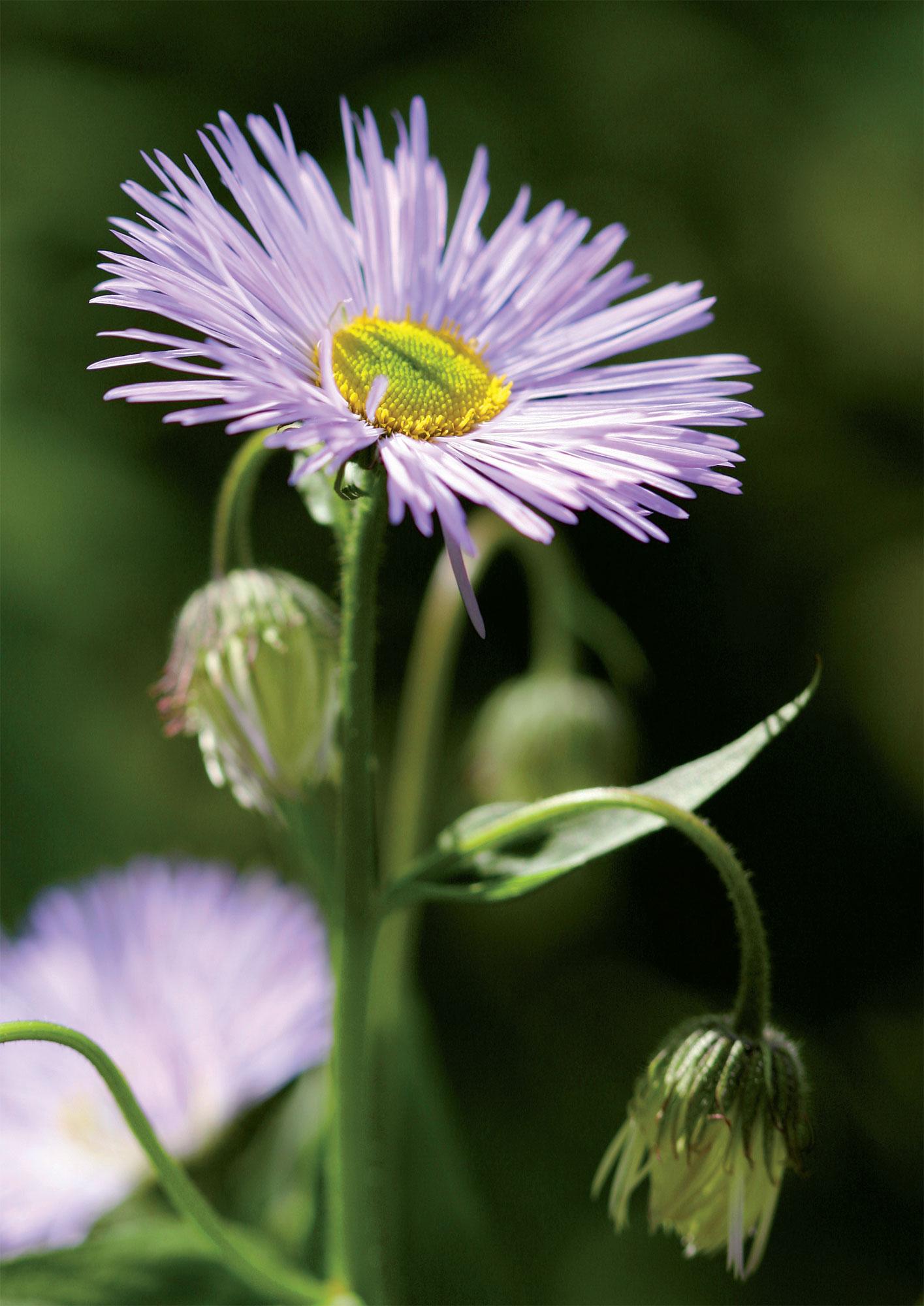 Helppohoitoisen jalokallioisen hennon violetteja kukkia riittää lähes koko kesäkaudeksi ja kimppuihin kerättäviksi.