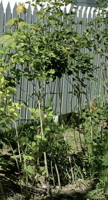 Orapihlaja kasvaa harvaksi