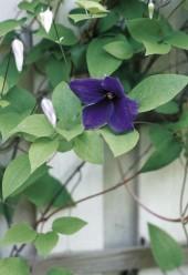 Virolainen jalokärhö on kiitollinen keskikesän kukkija