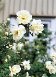 Juhannusruusu kuuluu eittämättä vanhan talon puutarhaan