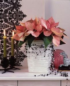 Joulutähti on parhaimmillaan kun sen kukat ovat vielä paikallaan.