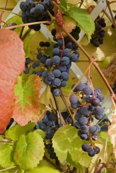 Viiniköynnöksen kasvattaminen onnistuu Etelä-Suomessa jopa ulkona.