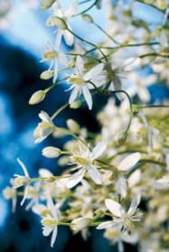 Pitsimäinen mantsuriankärhö kukkii pienin, valkoisin kukin.