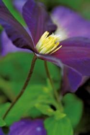 Isokukkainen  Viola  on virolaisen Uno Kivistikin lajikkeita.