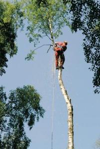 Ahtaissa paikoissa puu kaadetaan osissa.
