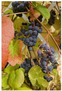 viinirypälekuva