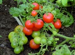 Kylvä tomaatit maaliskuun jälkipuoliskolla