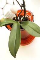 Lasinen orkidearuukku,  Plantagen