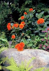 Daaliat kukkivat vuodesta toiseen,