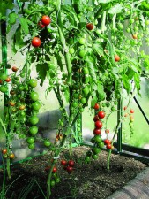 Kasvihuoneeseen istutettiin kolmea tomaattilajiketta