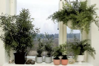 Asparagukset eli parsat ovat melkein hävinneet nykykodeista