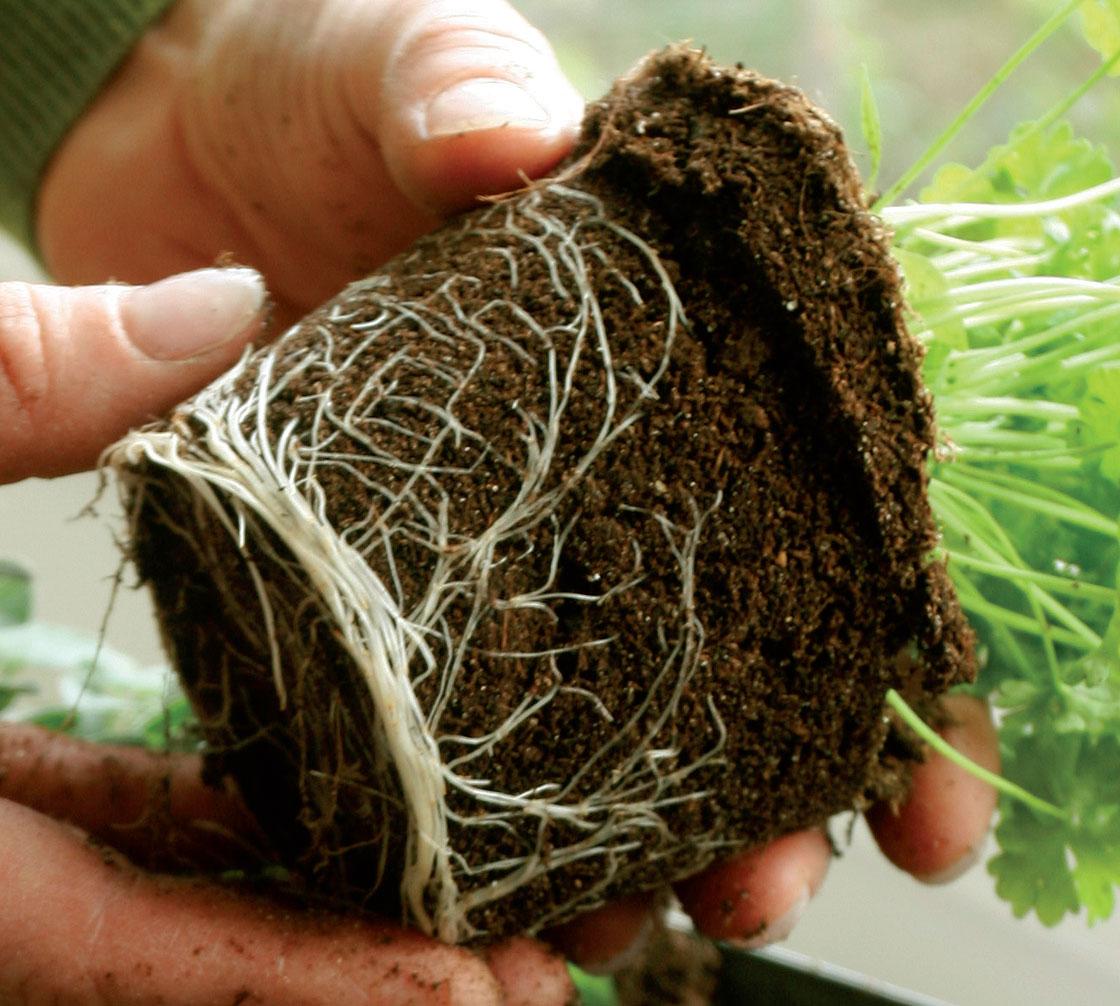 Istuta yrtit reiluihin ruukkuihin, jos kasvatat niitä ikkunalla useita kuukausia.