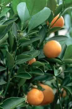 Appelsiinejä